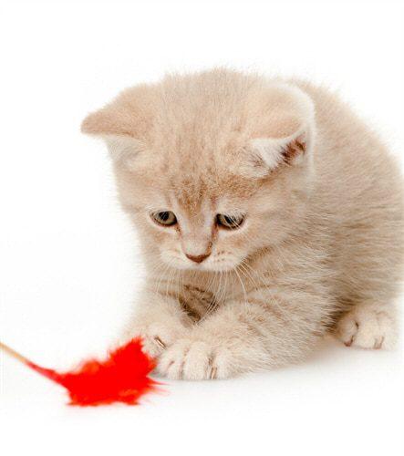 Spieltrieb bei Katzen