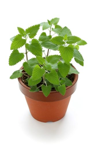 Katzenminze Pflanze