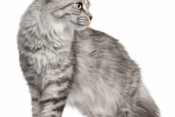 Kratzbaum für Maine Coon Katzen