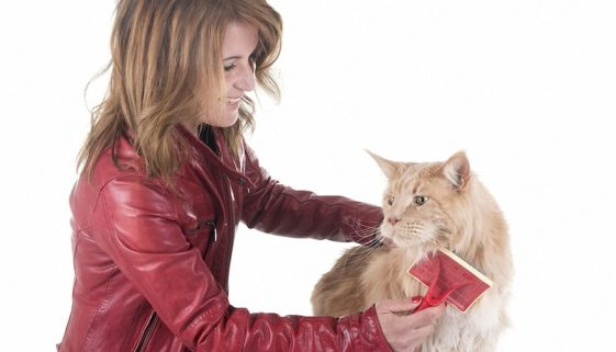 bigstock-Maine-Coon-Cat-And-Woman-Brush-2337621881
