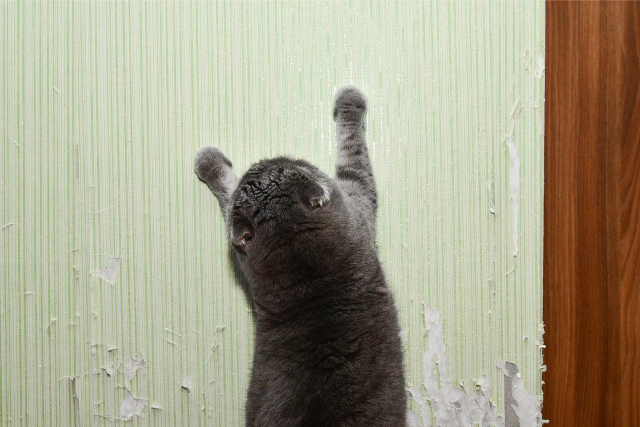 Katze kratzt an TApete