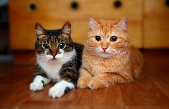 Zwei Katzen aneinander gewöhnen mit diesen Tipps