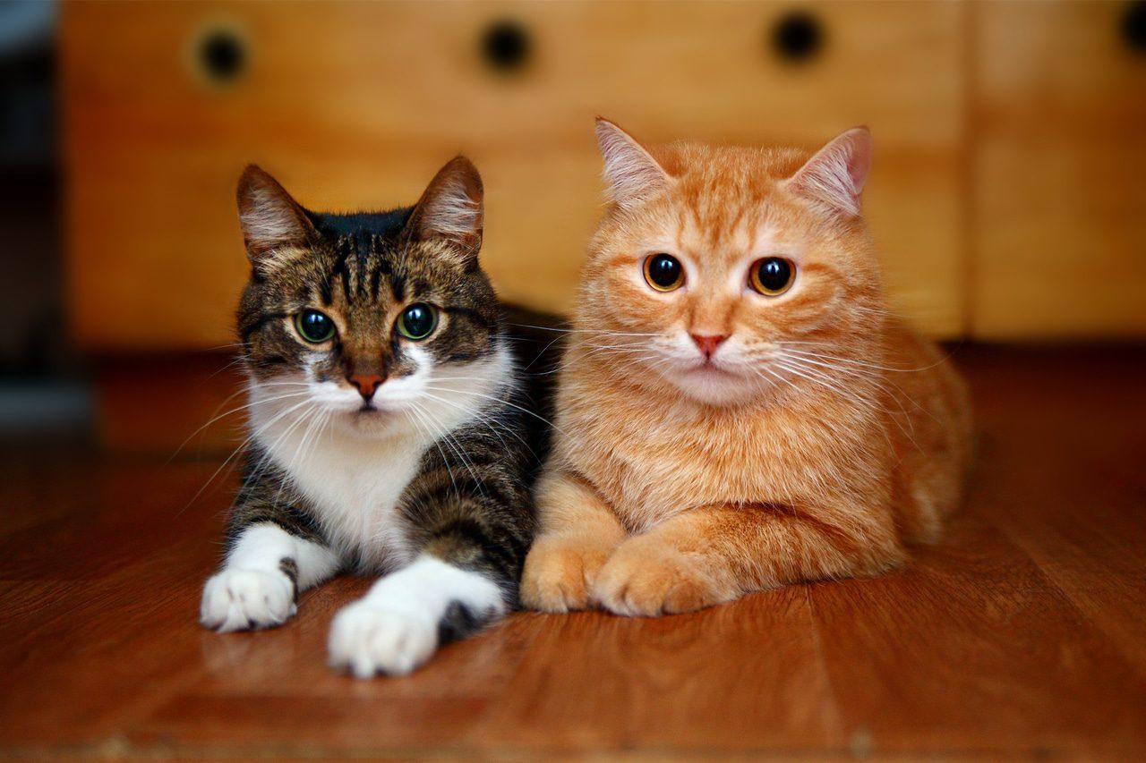2 Katzen aneinander gewöhnen