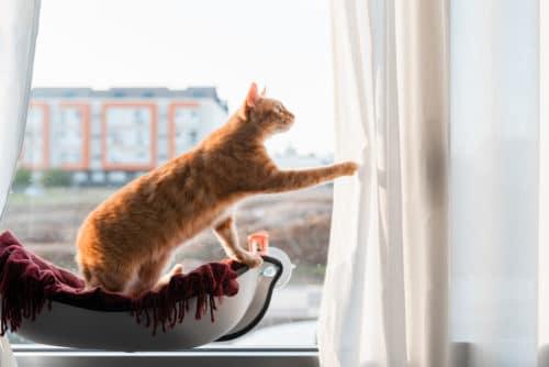 Katze spielt mit Vorhang